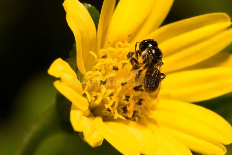 Bee Free Stock Photos