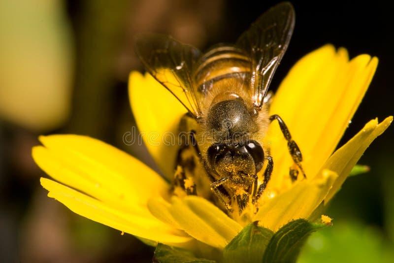 Download Bee stock image. Image of nature, feeding, macro, yellow - 173959