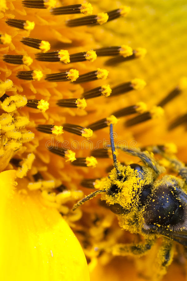 Free Bee Royalty Free Stock Image - 20289236