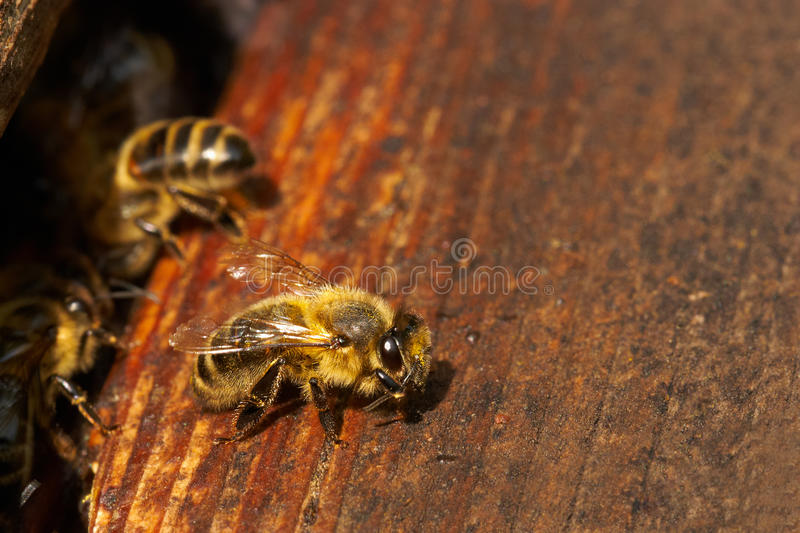 Download Bee stock image. Image of apiary, flying, horizontal - 23077343