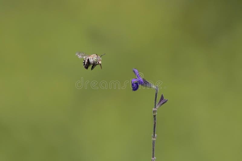 Download Bee stock image. Image of beekeeping, closeup, field - 23281071