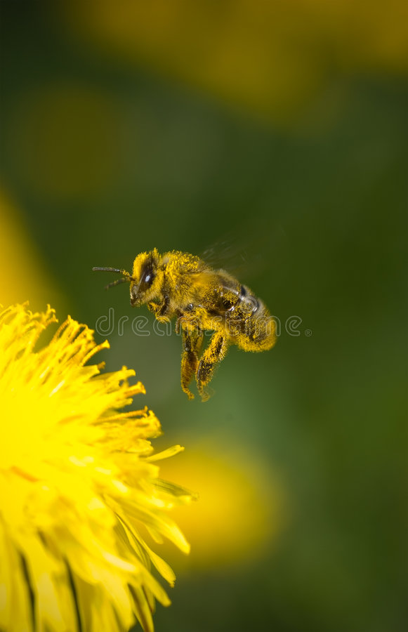 Free Bee Stock Photography - 2343612