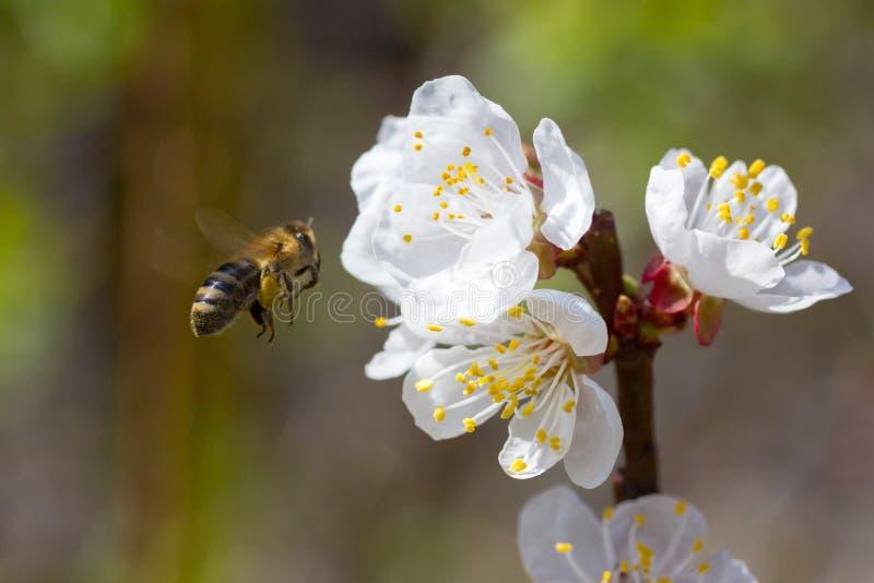 Download Bee stock image. Image of sakura, asia, plant, gathering - 24586055