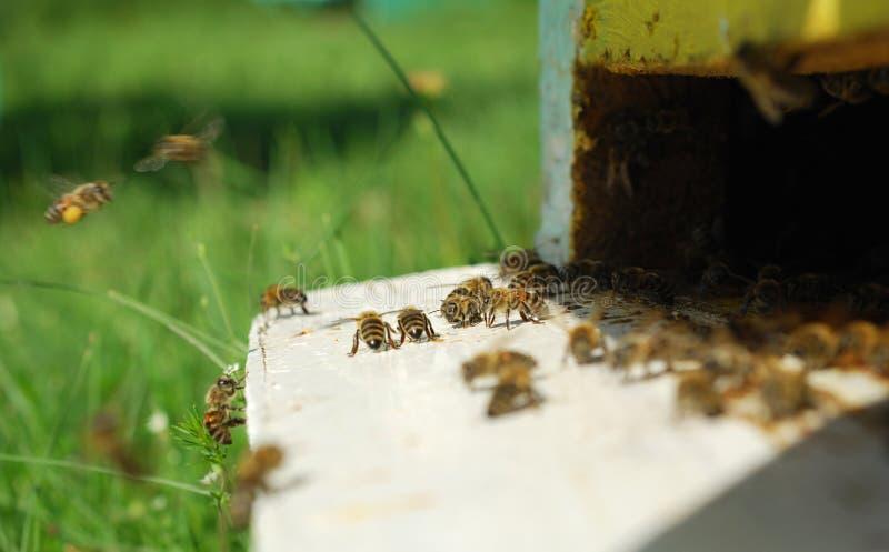 Download Bee stock image. Image of closeup, beeswax, beekeeping - 25206811