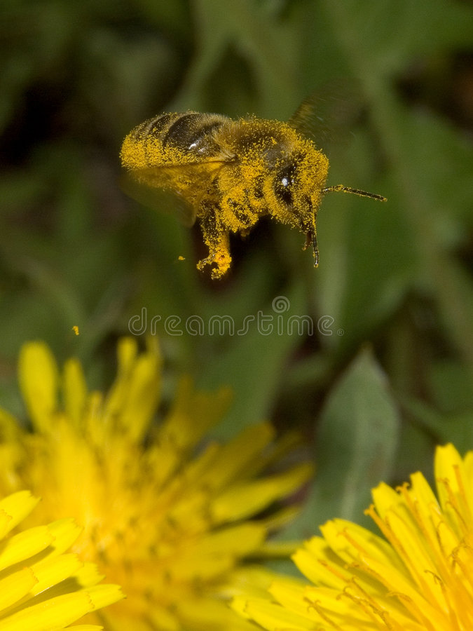 Bee. The honey-bee over the yeloow flower royalty free stock photos