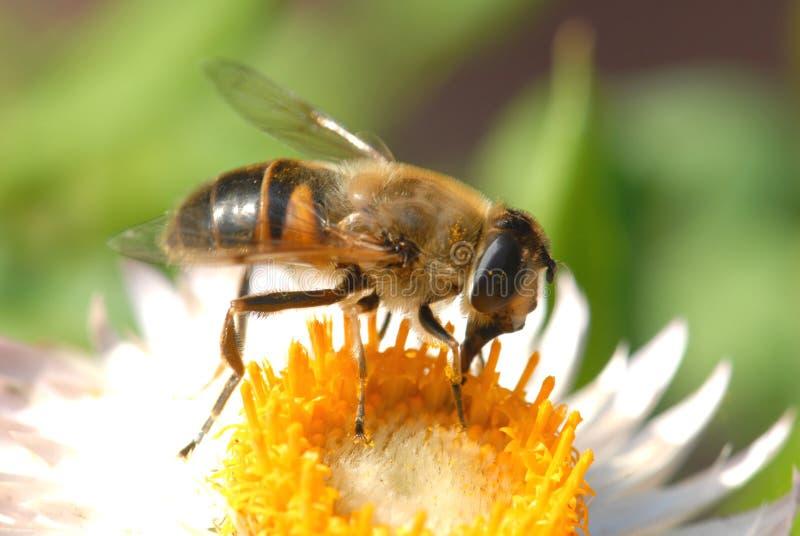 Bee. Macro photo of honey bee stock images