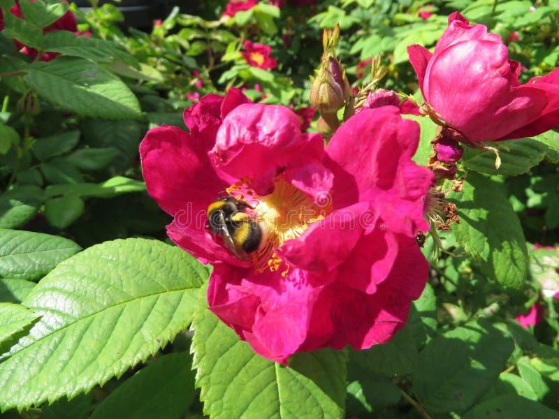 Bee01 图库摄影