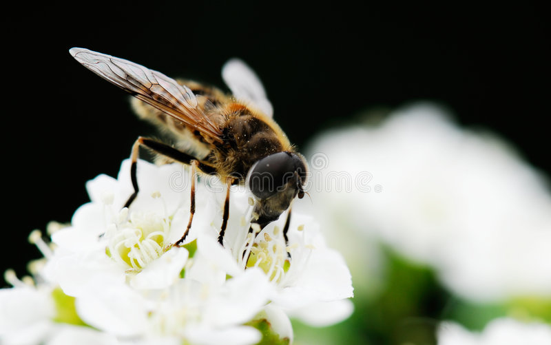 Bee. Cute bee on white flowers stock image