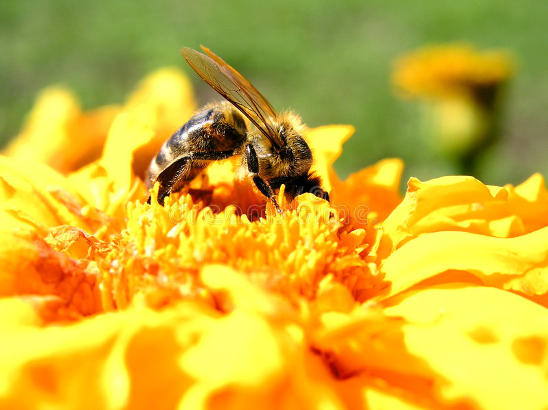 Download Bee 8 stock photo. Image of shaggy, nature, petals, insects - 134020
