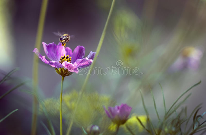 Bee adn flower. Bee fly from flower in the small garden stock images