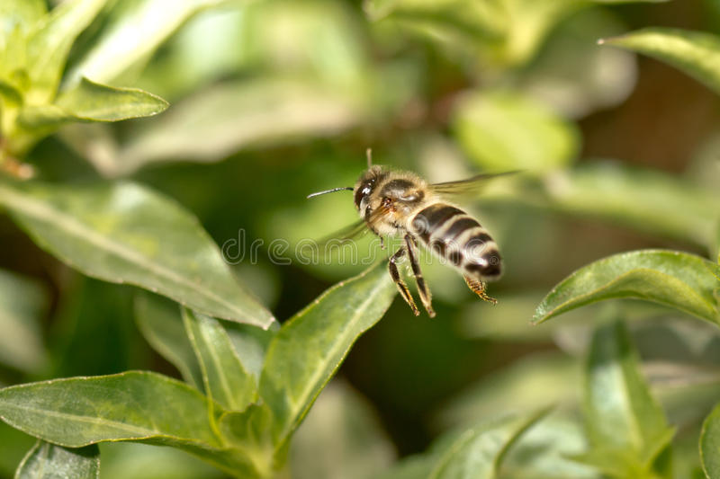 A bee in the air royalty free stock images