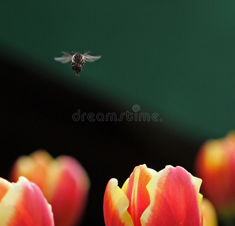 Free Bee And Tulips Stock Image - 4424241
