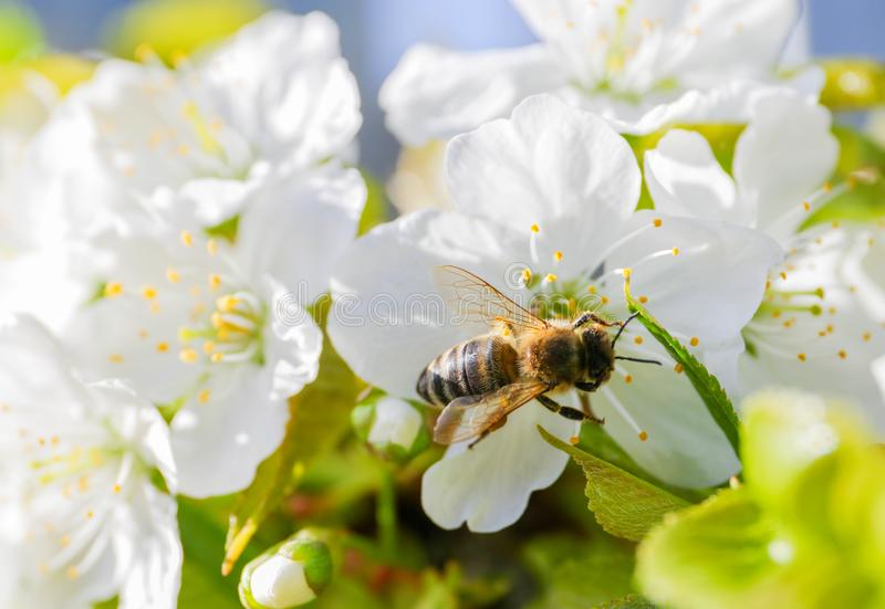Bee Anthophila during the harvest of cherry tree Cerasus nectar royalty free stock photo