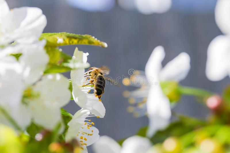 Bee Anthophila during the harvest of cherry tree Cerasus nectar royalty free stock images