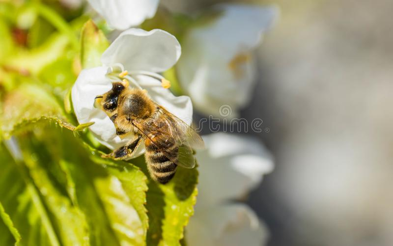 Bee Anthophila during the harvest of cherry tree Cerasus nectar royalty free stock image