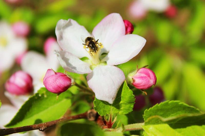 Bee on apple blossom stock photos