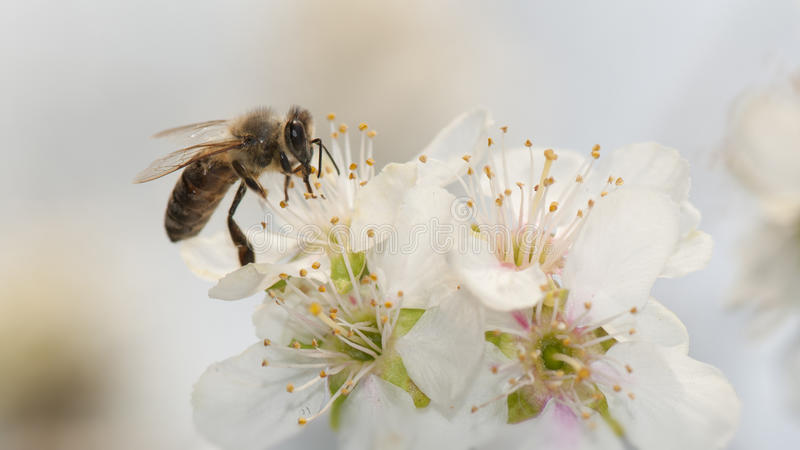 Bee and apple flower. Close up of a bee feasting with pollen from an apple flower stock photos