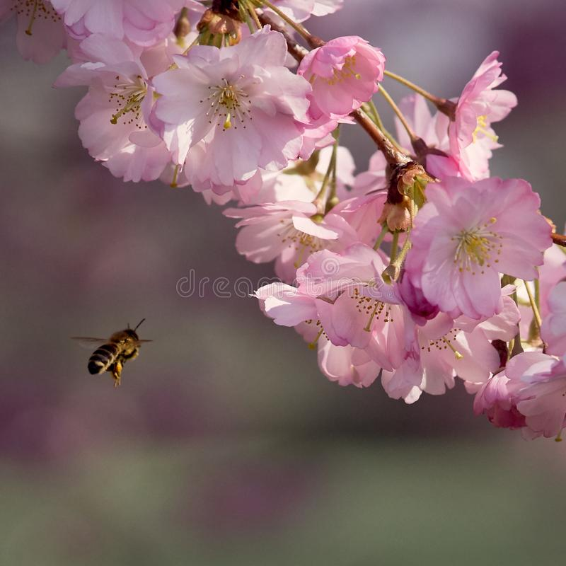 A bee approaching sakura flowers in blossom. Pink sakuras in blossom  against blue sky, sunny spring day with a bee approaching royalty free stock photos