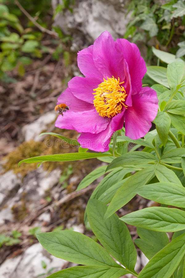 The bee arrives on flower of wild peony stock photography
