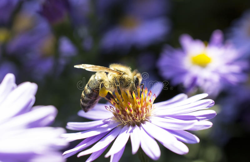 Bee on aster flower stock photography