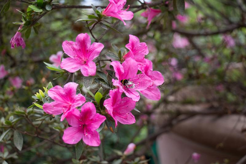 A bee on azaleas. Pink blooming flowers stock photo