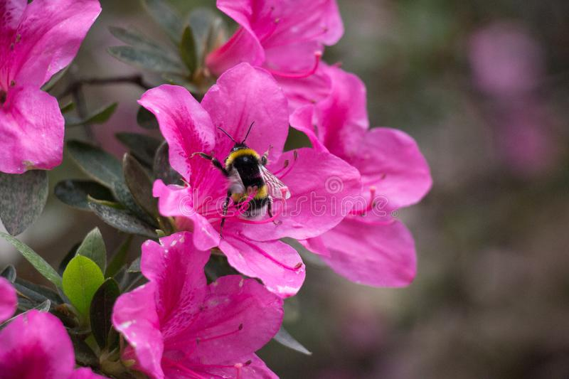 A bee on azaleas. Pink blooming flowers royalty free stock image