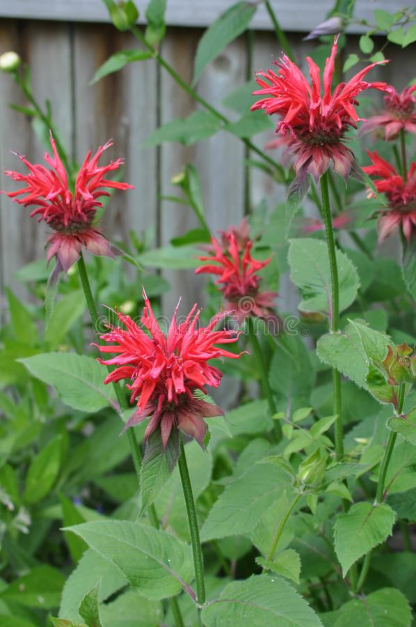Bee Balm Flowers in Bloom. Colorful bee balm flowers blooming near a wooden fence on a sunny day royalty free stock image
