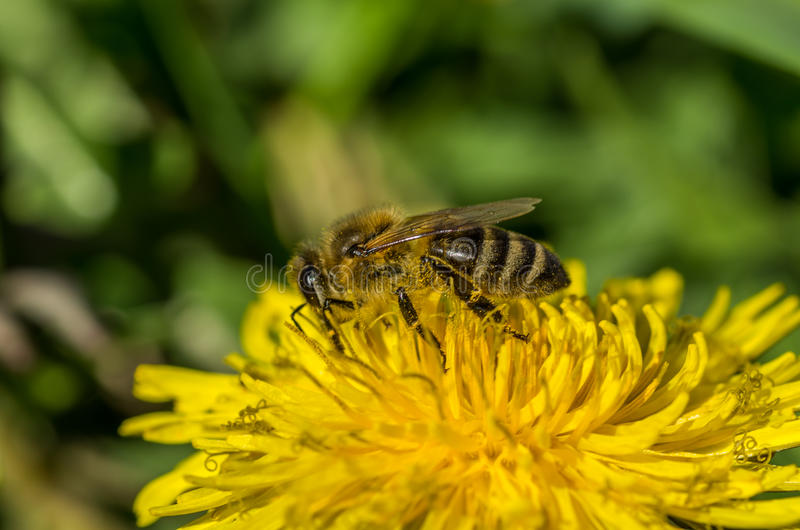 Download Bee, Bathing In First Rays Of The Sun Stock Image - Image: 42597321