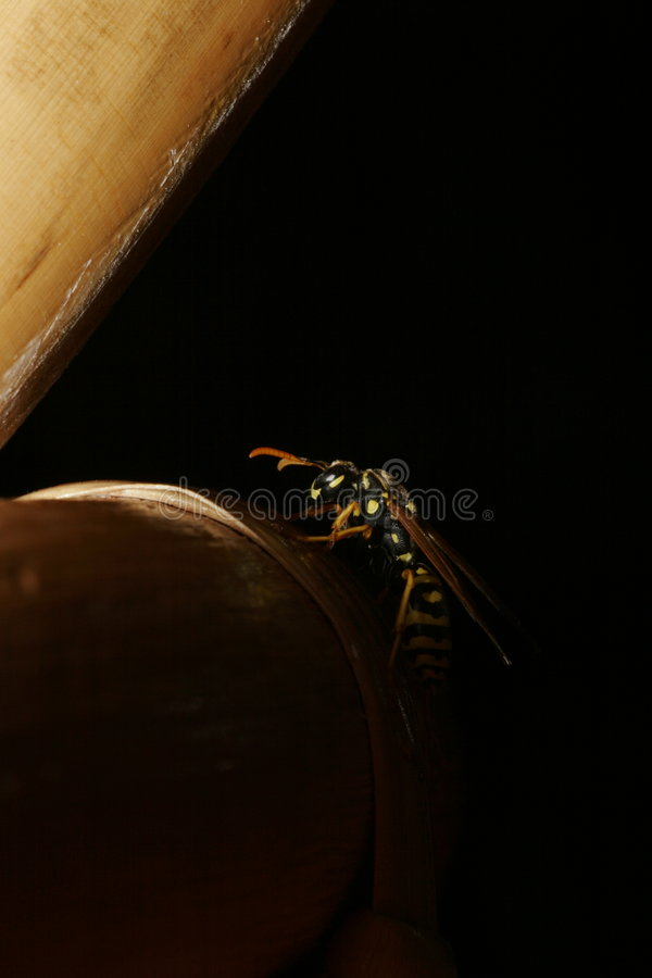 Bee on Black. A close up of a bee on a black background royalty free stock photography
