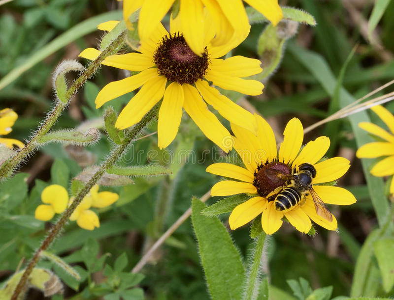 Bee and black eyed susans royalty free stock images