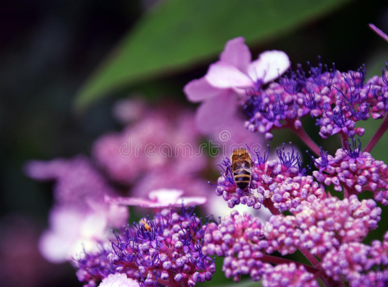 Bee in Bloom. Bee in the bloom at the Holyrood Palace gardens in Edinburgh, Scotland royalty free stock photography