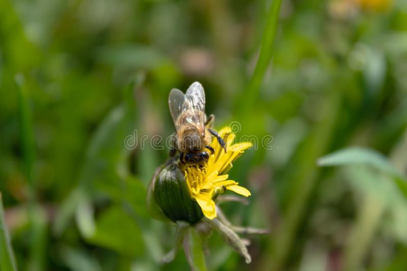 Bee on a blooming dandelion in the grass on the lawn.  royalty free stock image