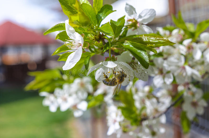Bee on a blooming tree royalty free stock photos