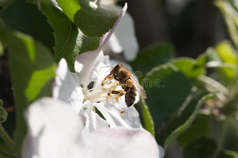Download Bee in the blossom stock photo. Image of working, branch - 29108374