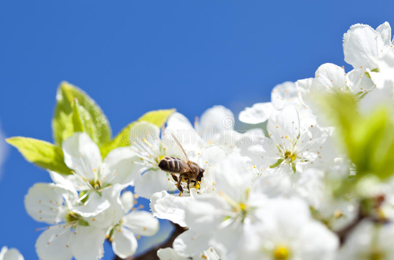 Bee on blossoming apple tree stock photos