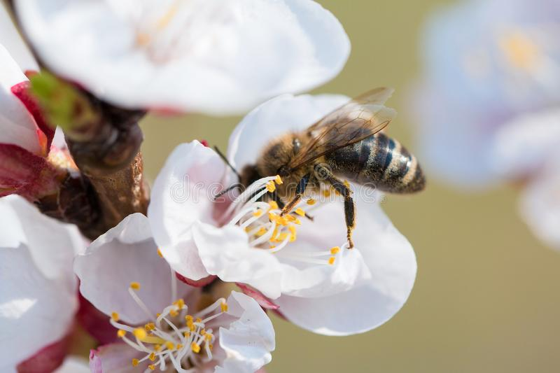 Bee on the Blossoming cherry branch. Blossoming twig of cherry-tree. Honey Bee pollinating cherry flower. Spring flowers blossom background. Close up stock photography