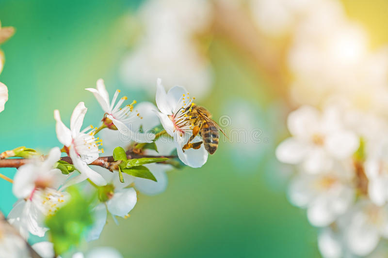 A bee on blossoming flovers of cherry tree stock photo