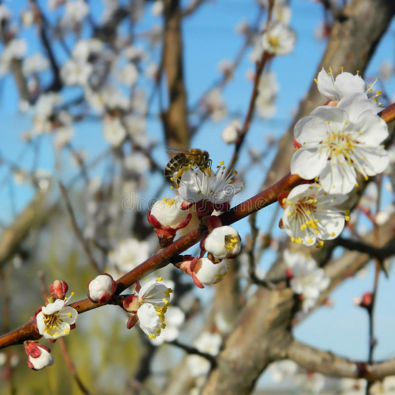 Bee on a blossoming tree royalty free stock photos
