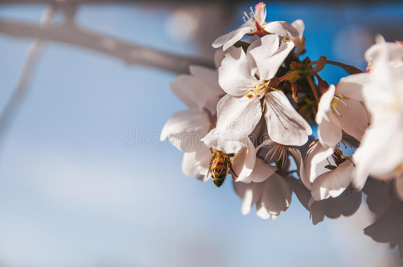 Bee on the blossoms royalty free stock photography
