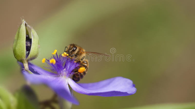 Bee with blue flower. Macro close up of honey bee collecting pollen from blue flower stock images