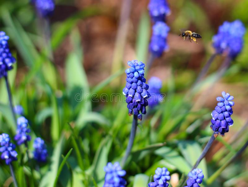 Bee among blue flowers stock photography