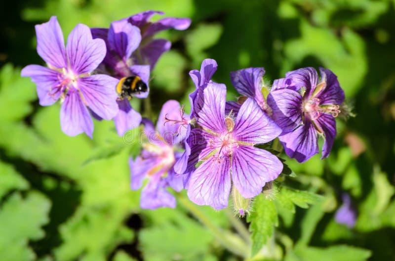 A bee on Blue Geranium in a garden, Latvia.  royalty free stock photography