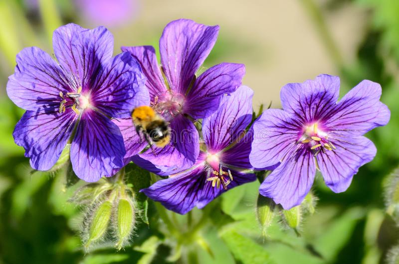 A bee on Blue Geranium in a garden, Latvia.  stock images