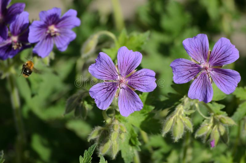 A bee on Blue Geranium in a garden, Latvia.  royalty free stock images