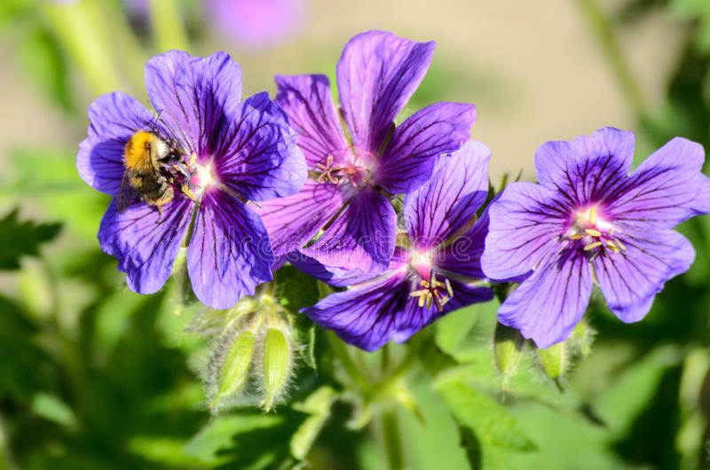 A bee on Blue Geranium in a garden, Latvia.  royalty free stock image
