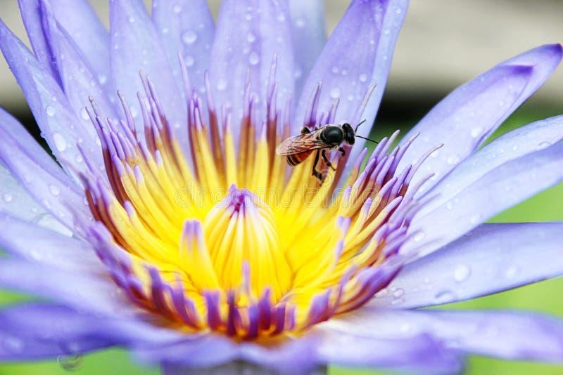 Bee on blue lotus flower. royalty free stock image