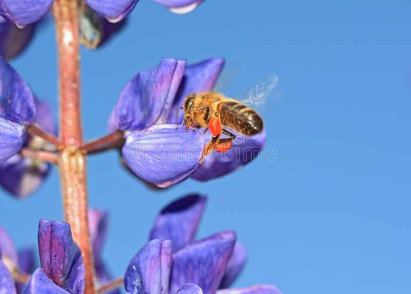 Download Bee on blue lupine stock photo. Image of blue, beauty - 25564588