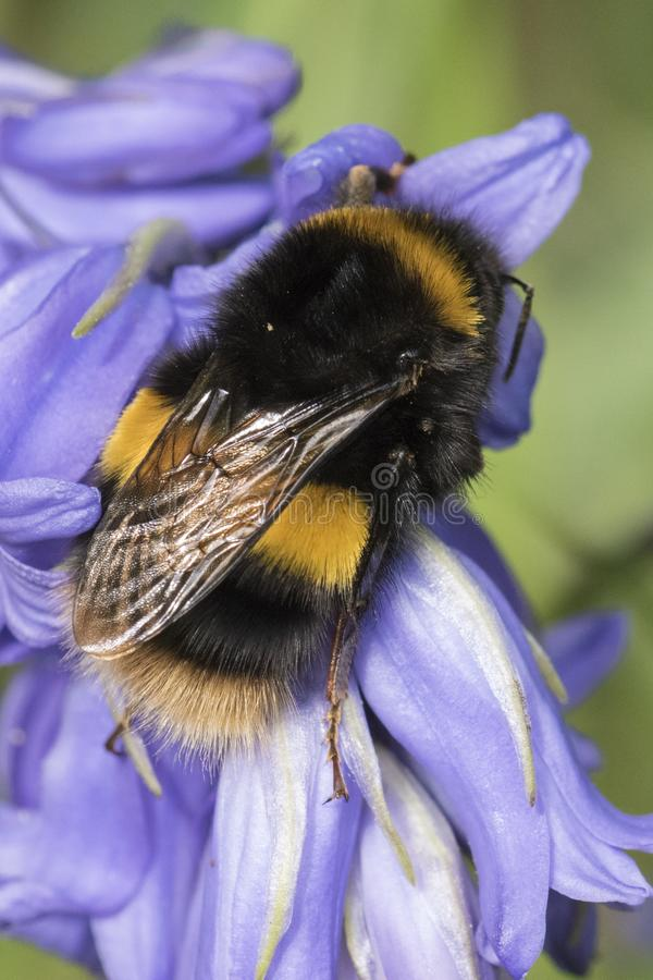 Download A bee on a bluebell stock photo. Image of black, purple - 115968882