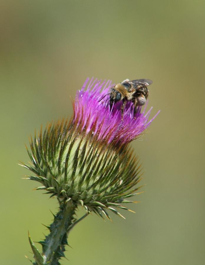 Bee on Bull Thistle stock image