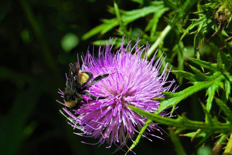 bee bumble thistle fotografering för bildbyråer